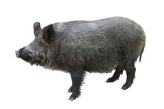 Wild boar isolated. On white background Stock Photography