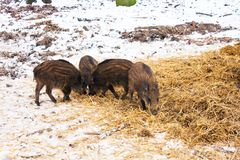 Wild boar in its first year. Young wild boar while feeding Stock Photo