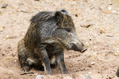 Wild boar juvenile Stock Images