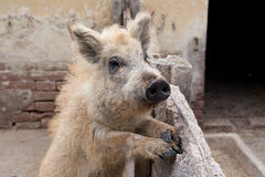 Wild boar kid. Tamed young wild boar in a farm behind corral looking in the camera Stock Photos
