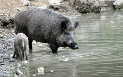 Wild boar at lake Stock Image