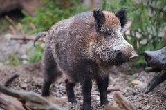 Wild boar (lat. Sus scrofa) Royalty Free Stock Photography