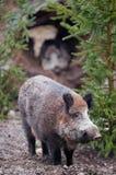 Wild boar (lat. Sus scrofa) Stock Images