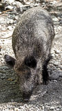 Wild boar 11 Royalty Free Stock Photos
