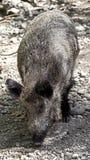 Wild boar Royalty Free Stock Photos