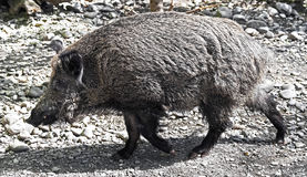 Wild boar 12 Stock Images