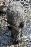 Wild boar 14 Stock Photography