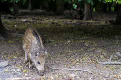 Wild boar little pig, Squeaker in forest under trees. Wild boar little pig, Squeaker in forest Royalty Free Stock Image