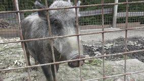 Wild boar. Little pig. stock footage