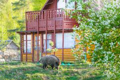 Wild boar living close to village royalty free stock photo
