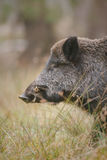 Wild boar in long grass Stock Photography