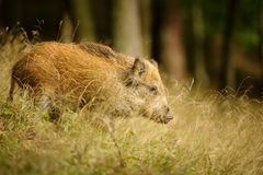 Wild boar in long yellow grass Stock Images