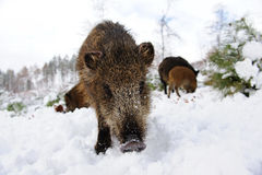 Wild boar is looking Royalty Free Stock Photos