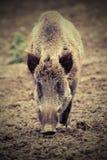 Wild boar looking at the camera Royalty Free Stock Photos