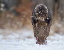 Wild boar looking down the barrel ready to charge Royalty Free Stock Images