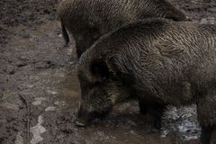 Wild boar looking for food in the mud during rainy weather, Bialowieza Forests, Poland. Europe royalty free stock photo