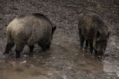 Wild boar looking for food in the mud during rainy weather, Bialowieza Forests, Poland. Europe stock images