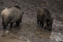 Wild boar looking for food in the mud during rainy weather, Bialowieza Forests, Poland. Europe stock photography