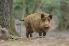 Wild boar looking from the forest Stock Images