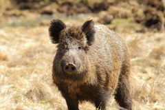 Wild boar looking towards the camera Stock Image