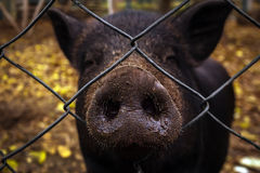 Wild boar looks through the bars. head wild boar. Wild boar looks through the bars. close-up head wild boar Royalty Free Stock Images