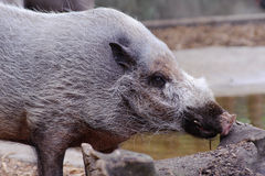 Wild boar looks for food Royalty Free Stock Photography