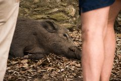 Wild boar lying on the ground. Wild boar is lying on the ground surrounded by people observing him. Forest background and leaves royalty free stock photos