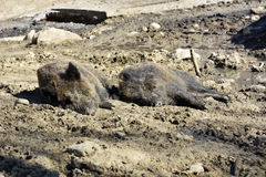 Wild Boar Lying In The Mud. Wild Stock Images