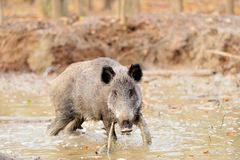 Wild boar. Male wild boar in autumn, in the forest Royalty Free Stock Photo