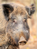 Wild boar. Male wild boar in autumn, in the forest Stock Images