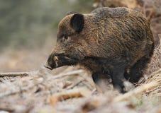 Wild boar male, Bavaria. Wild boar male in German forest Stock Photo