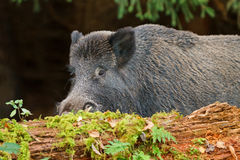 Wild boar, male in Bavaria. Wild boar,male,hiding behind a rotten log Royalty Free Stock Photos