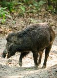 Wild boar male feeding in the jungle Stock Images