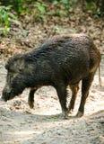 Wild boar male feeding in the jungle Stock Photo