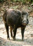 Wild boar male feeding in the jungle Stock Image