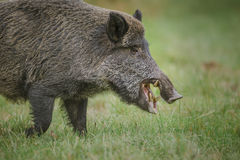 Wild boar, male, foraging for apples Royalty Free Stock Image