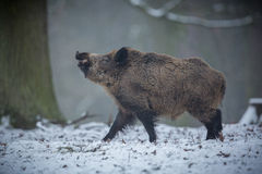 Wild boar male in the forest. /wild animal in the nature habitat/Czech Republic Royalty Free Stock Image