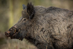Wild boar male in the forest. /wild animal in the nature habitat/Czech Republic Stock Photos