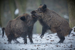 Wild boar male in the forest. /wild animal in the nature habitat/Czech Republic Royalty Free Stock Photo
