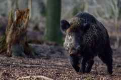 Wild boar male in the forest Royalty Free Stock Images