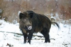 Wild boar male in the forest, winter. Sus scrofa Royalty Free Stock Photos