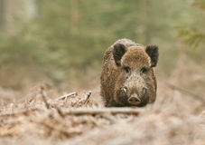 Wild boar male in German forest. With trees in background Royalty Free Stock Image