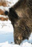Wild boar male head portrait, winter. Sus scrofa Royalty Free Stock Images