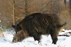 Wild boar male in the forest, winter. Wild boar male search feed in the forest, winter, sus scrofa Stock Photo