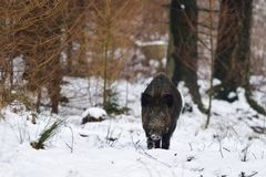 Wild boar male in the winter forest. Wild boar male  in the winter forest, sus scrofa Royalty Free Stock Photo