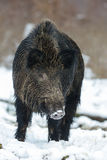 Wild boar, male in the winter. Sus scrofa, germany Royalty Free Stock Photos