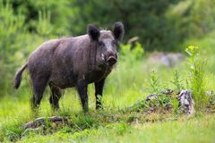 Free Wild Boar Male With Long White Tusks Looking On Glade With Stumps Royalty Free Stock Photo - 184256705