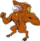 Wild Boar Man Roaring Pumping Chest Cartoon Stock Photography