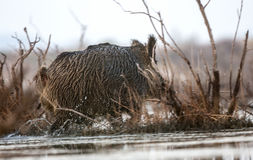 Wild Boar in Marsh Royalty Free Stock Photography