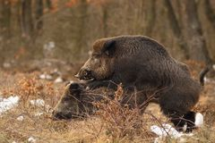 Wild boar mating Royalty Free Stock Images
